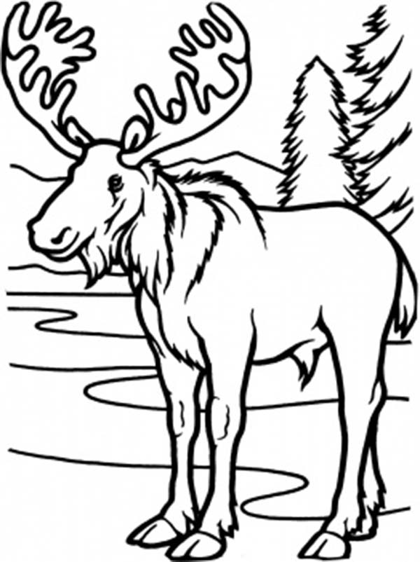 printable pictures of moose page,printable,coloring pages